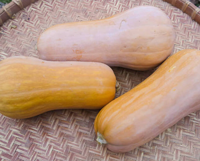 Courges Moschata - Butternut Sonca Orange