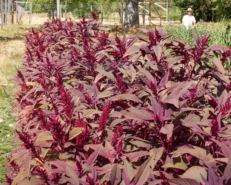 Amaranthes à Grains - Rodale Red Leaf