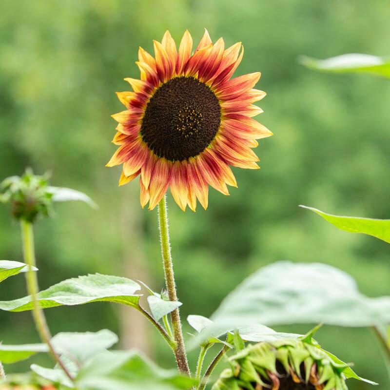 Tournesols à Fleurs - Evening Colours