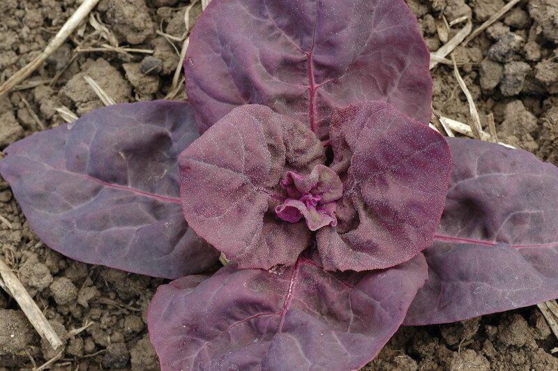 Arroches - Triple Purple