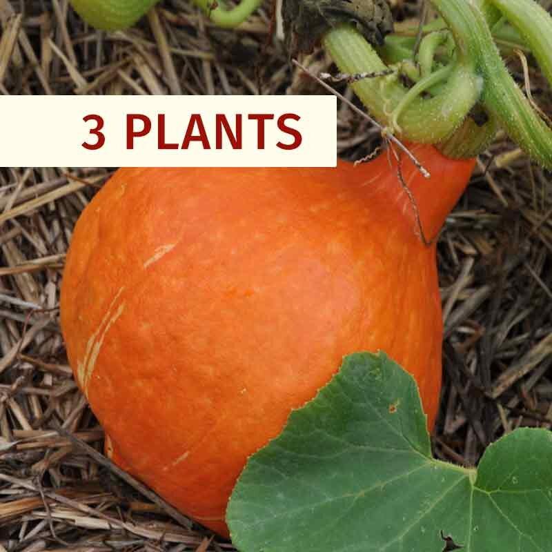 Courges - Plants de Courge Maxima Potimarron Red Kury