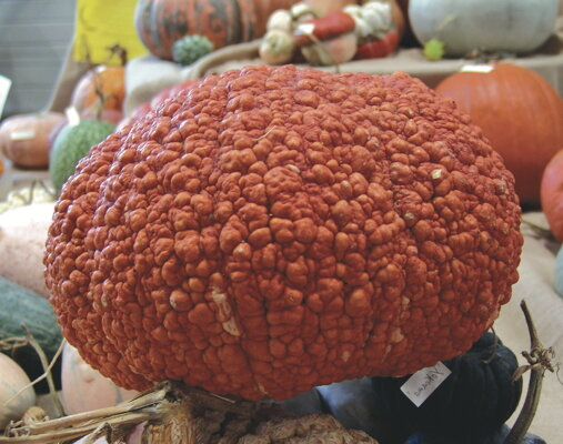 Courges Maxima - Red Warty Thing