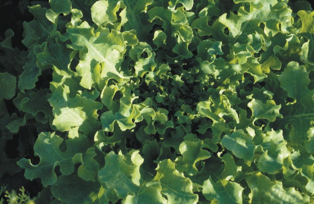 Laitues - Salad Bowl Green