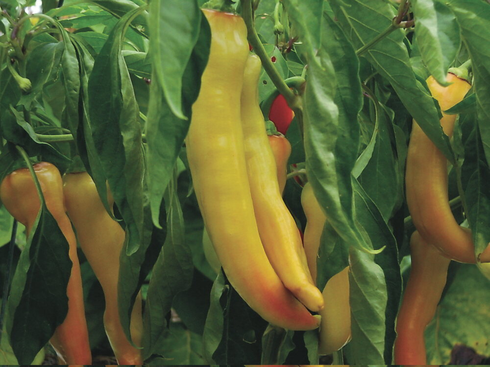Piments/Poivrons - Yellow Banana Giant