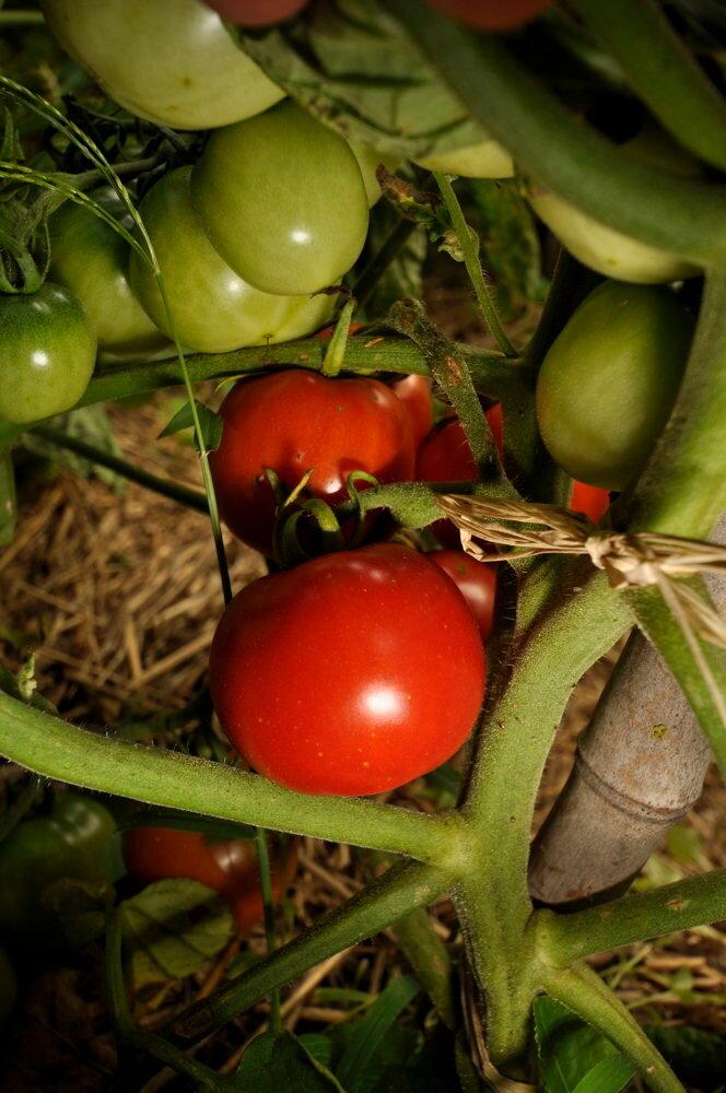 Tomates - Imur Prior Beta