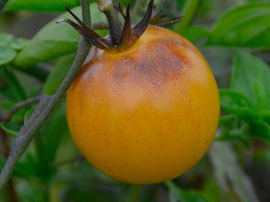 Tomates - Snow Prince
