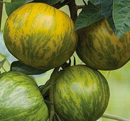 Tomates - Cote d'Zebra