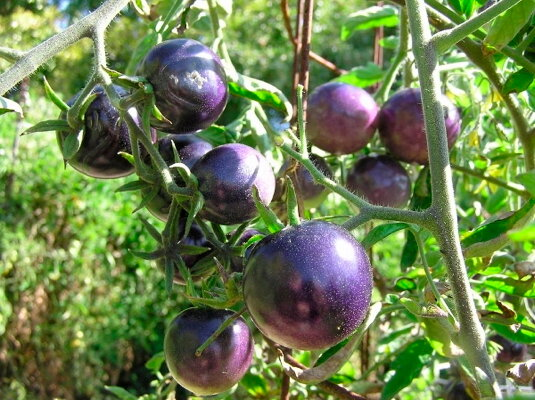 Tomates - Bosque Blue