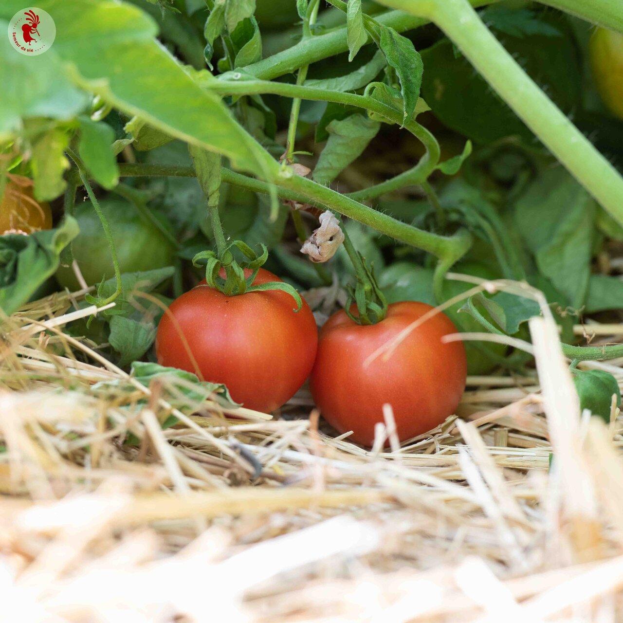 Tomates - Moravsky Div