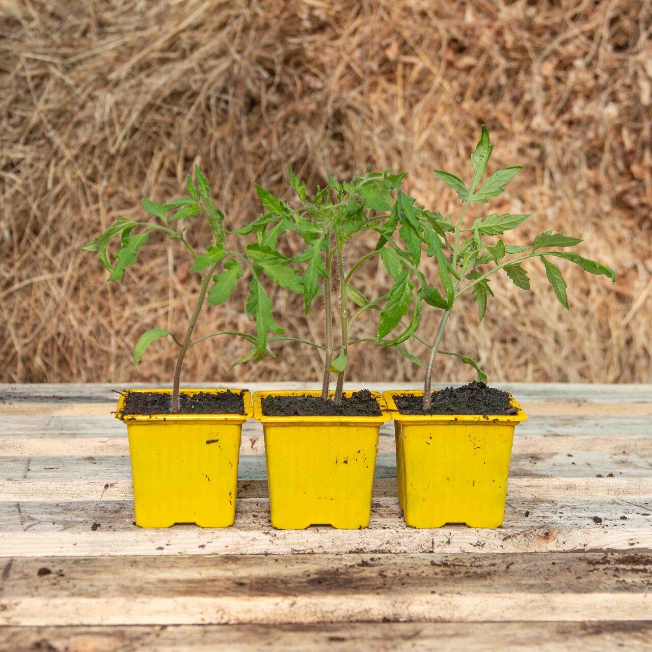 Tomates - Plants de Tomate Rouge Marmande