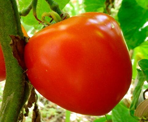 Tomates - Pomehana Apple
