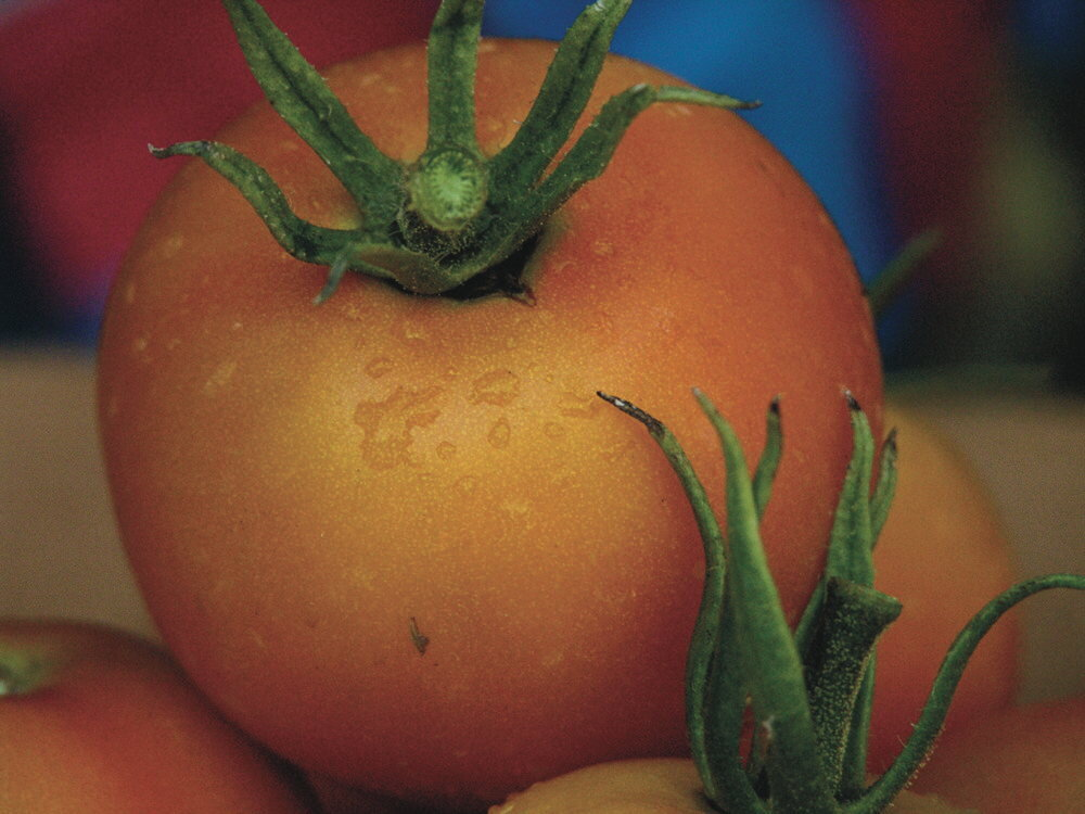Tomates - Jaune Flammée