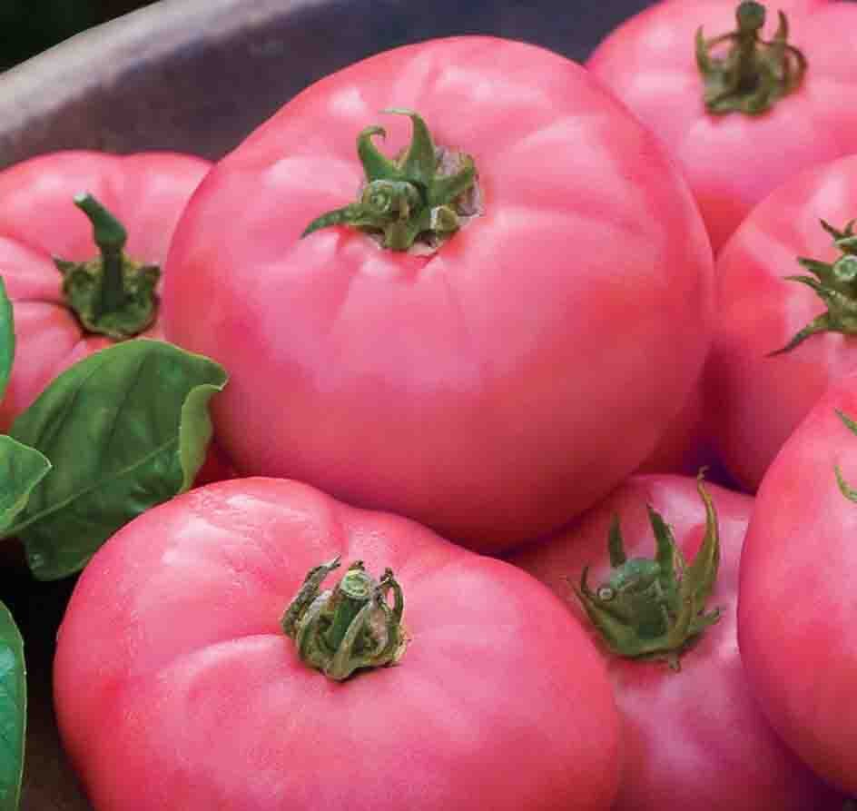 Tomates - Ponderosa Pink