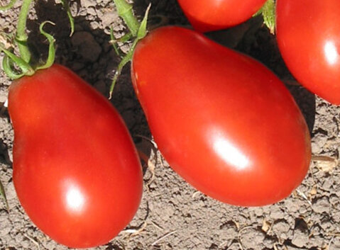 Tomates - Spitze
