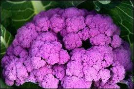 Choux Fleurs - Violet de Sicile